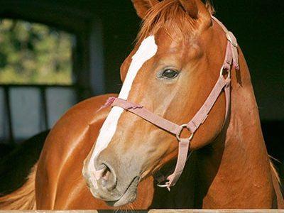Pferd mit weißer Blässe und rosa Halfter schaut entspannt aus seiner Box
